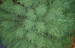 Помогите пожалуйста определить растение