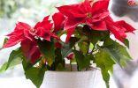 Зимнецветущие комнатные растения