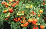 Непасынкующиеся томаты серии «НЕПАС» от агрофирмы СеДеК