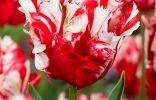 Тюльпан «Эстелла Рижнвельд»