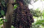 Ядовитое? Деревце из Таиланда
