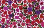 Восхитительные крупноцветковые петунии «Императорская семья»
