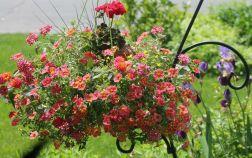 Однолетние цветы в подвесном кашпо