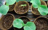 Выращивание рассады тыквы