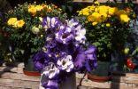 Хризантемы и эустома в горшках