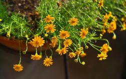 Тимофилла золотисто-желтая, или узколопастная