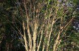 Помогите опознать дерево