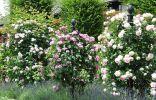 Плетистые розы клаймеры