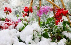 Пеларгония под снегом