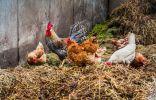 Как и для чего применять куриный помёт?
