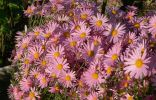 Помогите, пожалуйста, опознать растение семейства астровые