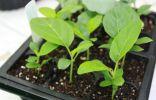 Выращивание рассады баклажанов