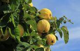 Айва — красивое дерево, вкусные и полезные плоды