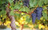 Формирование виноградного куста на высоком штамбе