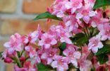 Вейгела — один из лучших цветущих кустарников весны