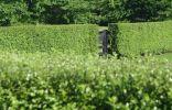 Лучшие растения для строгих изгородей