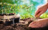 5 простых правил высадки рассады томатов в открытый грунт