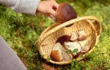 Как обезопасить себя, собирая грибы?