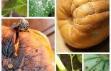 Болезни и вредители тыквы