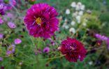 Новые и необычные сорта привычных однолетних цветов