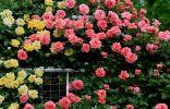 Размножение роз окулировкой — всё, что нужно знать начинающим цветоводам
