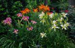 11 лучших современных сортов лилейников