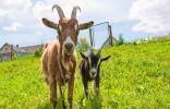 Коза на подворье — 5 советов для начинающих