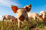Основные правила содержания свиней в домашнем хозяйстве