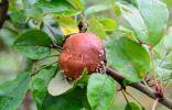 Почему гниют яблоки на ветках?