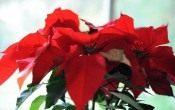 Пуансеттия — королева новогодних праздников