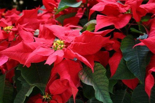 Пуансеттия, Рождественская звезда