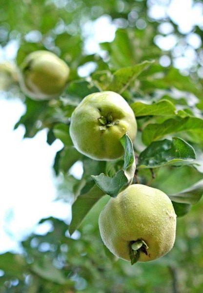 Айва, плоды на ветке