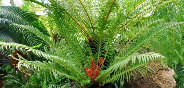 Блехнум бразильский, или Дербянка Бразильская (Blechnum brasilense)
