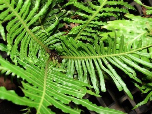 Блехнум горбатый, или Дербянка горбатая (Blechnum gibbum)