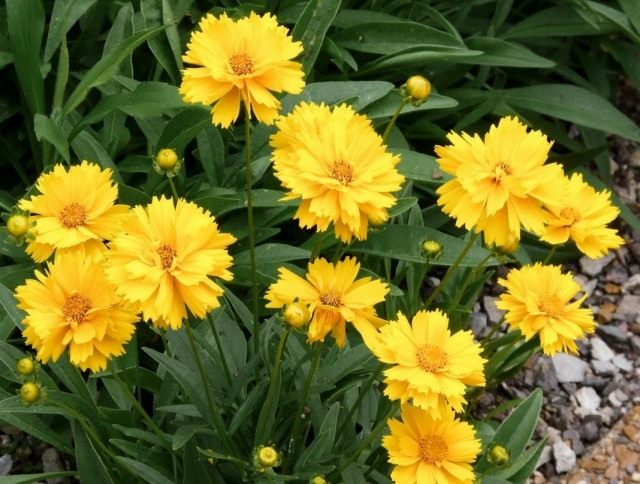 "Кореопсис крупноцветковый, сорт ""Санрей"" (Coreopsis grandiflora 'Sunray')"