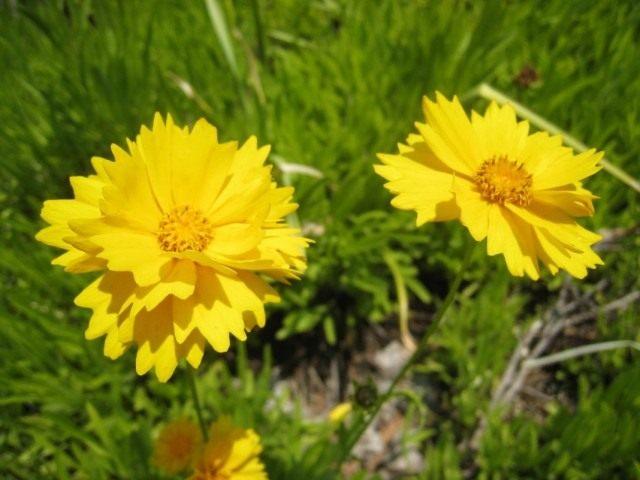 Кореопсис ланцетовидный (Coreopsis lanceolata)