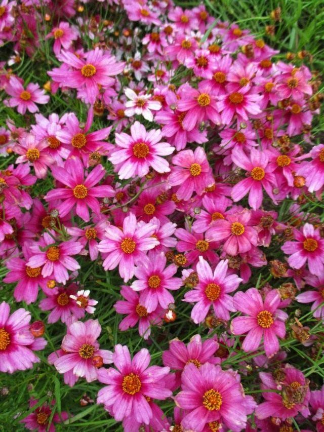 "Кореопсис розовый, сорт ""Небесные врата"" (Coreopsis rosea 'Heaven's Gate')"