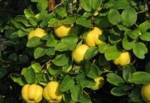 Айва, плоды