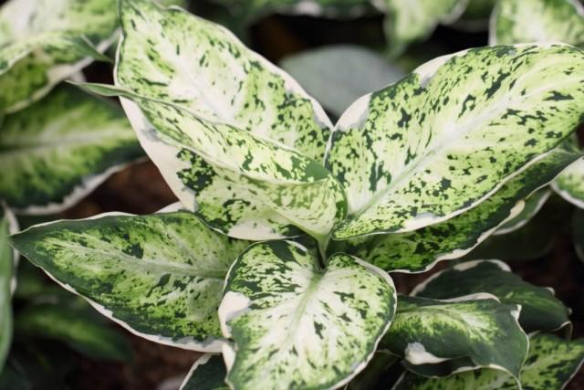 Пестролистная диффенбахия (Dieffenbachia)