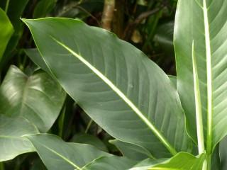 Диффенбахия Эрстеда (Dieffenbachia oerstedii)