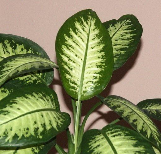 Диффенбахия (Dieffenbachia)