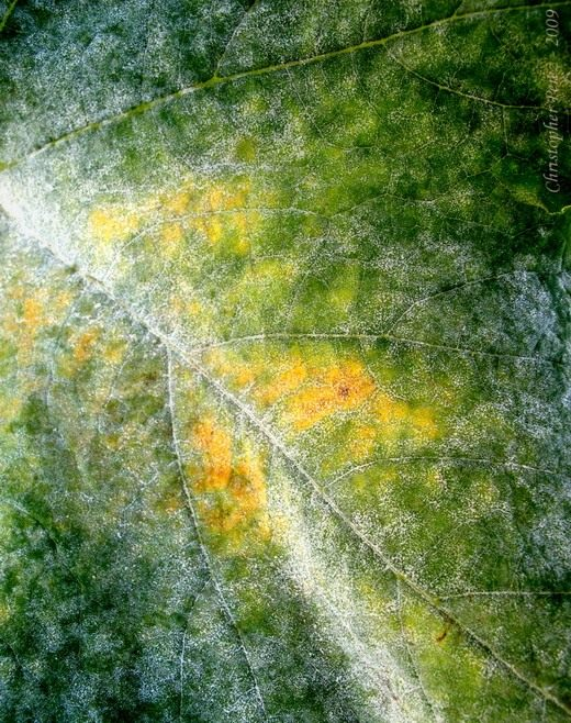 Мучнистая роса (Erysiphaceae)