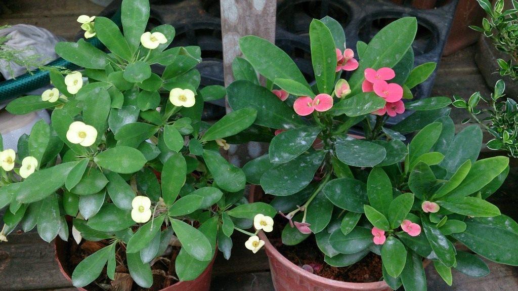 Молочай Миля - Комнатные растения и цветы 11