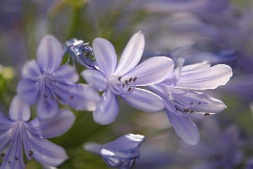 Цветы Хосты