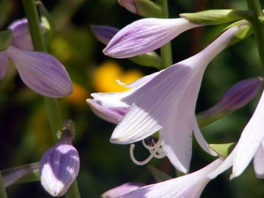 Цветки Хосты
