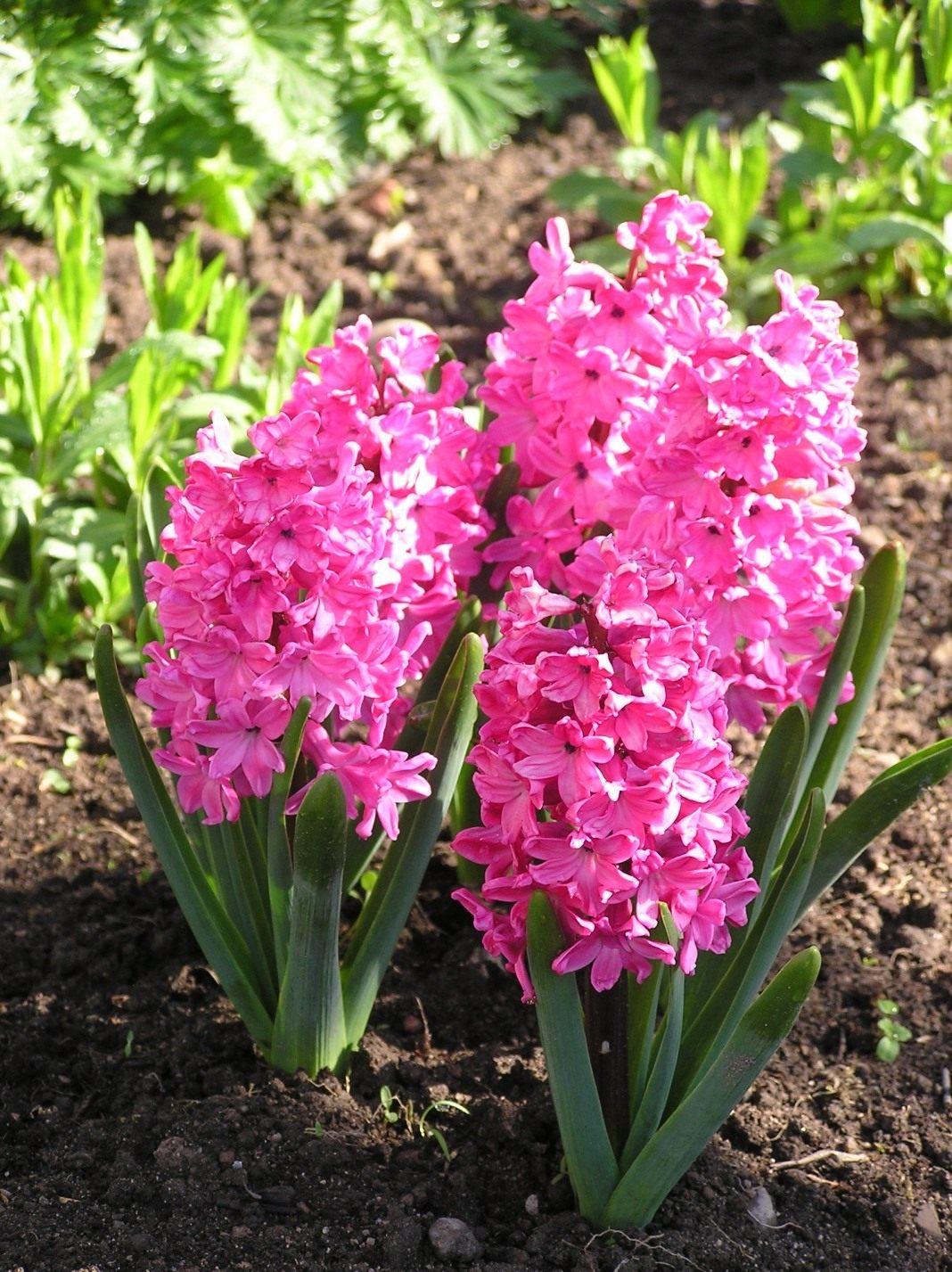 Гиацинты цветы фото и названия
