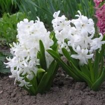 """Гиацинт восточный """"Карнеги"""" (Hyacinthus orientalis 'Carnegie')"""
