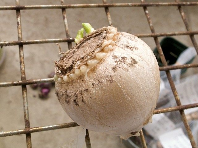 Луковица гиацинта с образовавшимися на донце детками