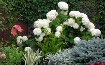 "Гортензия древовидная ""Анабель"" (Hydrangea arborescens 'Annabelle')"
