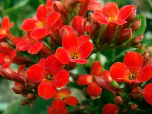 комнатные цветы каланхоэ фото: